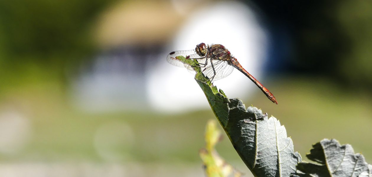 libellule lac genin